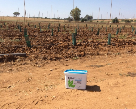 Olive tree planting with TerraCottem Universal, Los Nietos, Carmona (Sevilla), Spain - Superintensive olive tree plantation (1.8 m x 4m), total surface: 5.3 hectares, 1388 trees per hectare.