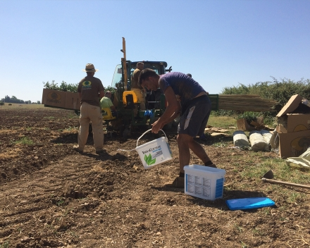 Olive tree planting with TerraCottem Universal, Los Nietos, Carmona (Sevilla), Spain - Mechanised planting: slits were made, tutor and tree installed. TerraCottem was applied manually at 20g/tree.