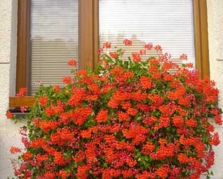 Pelargonie v balkonových truhlících