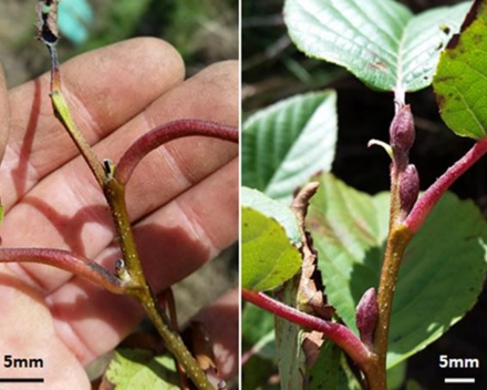 Apical buds, Control C8 (left), TerraCottem Universal® Treated T1 (right).
