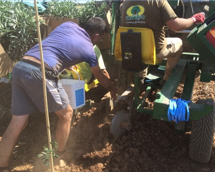 Olive tree planting with TerraCottem Universal, Los Nietos, Carmona (Sevilla), Spain - Aim for using TC: reduction in irrigation, better growth.