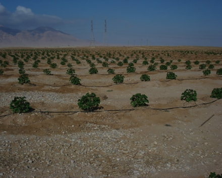 Biofuel plantation with TerraCottem Universal on degraded soil treated with sewage water, Suez, Egypt.