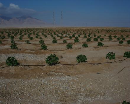 Pestovanie bio palív s TerraCottem Univerzal na degradovanej pôde zavlažovanej splaškovou vodou, Suez, Egypt.