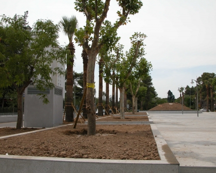 Platanus transplanted with TerraCottem Universal, Plaza del Caballo, Jerez, Spain.