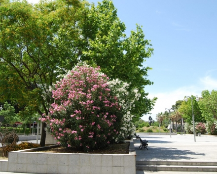 Platanus transplanted with TerraCottem Universal, Plaza del Caballo, Jerez, Spain - 10 years after transplant.