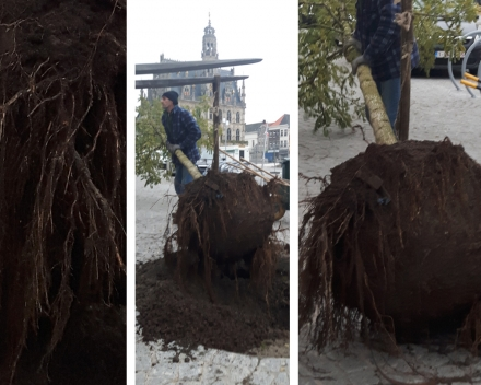 One of the trees was damaged by a car and needed to be replaced: notice the excellent root development a few months after planting.