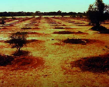 Arbole, Burkina Faso (1988): Native trees planted with TerraCottem just before the rainy season.