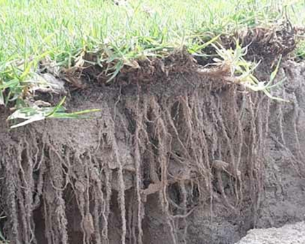 Amazing root growth approximately –between 150mm- 200m - after only two to three weeks of laying.