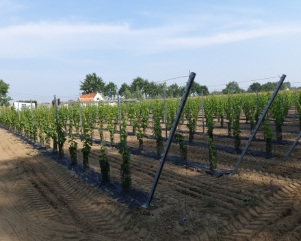 Planting vines with TerraCottem Universal