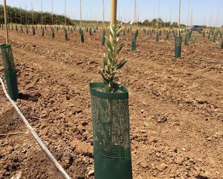 Olive Trees Survive Spanish Heath