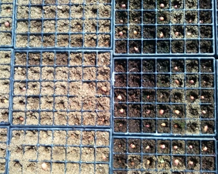Visual comparison of the seed trays. Left: without TerraCottem Universal; Right: with TerraCottem Universal. The TerraCottem treated soil is able to store more water.