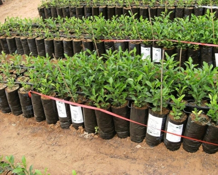 Orange tree nursery: left = control; right = TerraCottem Universal.