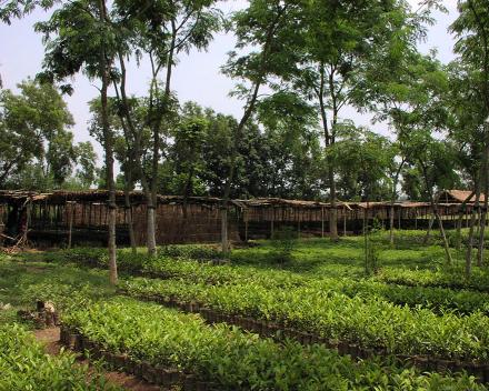 Camellia sinensis (thee) teelt met TerraCottem Universal, Bangladesh.