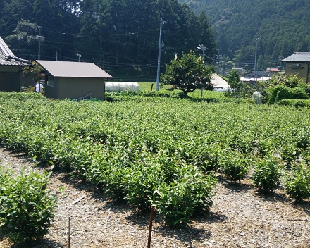 Camellia sinensis (thee) teelt met TerraCottem Universal, Japan.