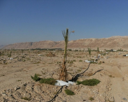 Phoenix dactylifera (date palm) cultivation with TerraCottem Universal.