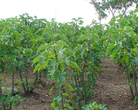 Jatropha curcas cultivation with TerraCottem Universal, Kenya.