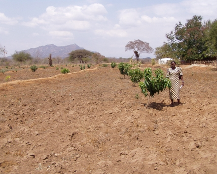 Cultivo de mango con TerraCottem Universal, Kenia.