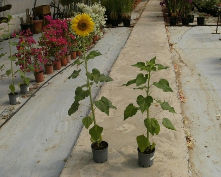 Helianthus (sunflower) cultivation. Left = 5g of TerraCottem Universal per pot; right = control.