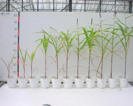 Zea mays (corn) trial in greenhouse, Destelbergen, Belgium. From left to right increasing amounts of TerraCottem Universal (g/l).