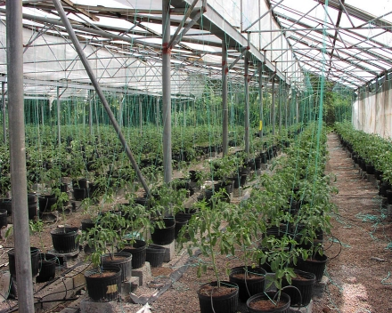 Cultivo de Lycopersicum (tomate) con TerraCottem Universal.