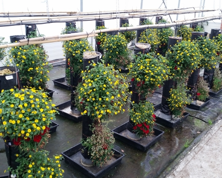 We aim at endorsing and certifying our product's benefits by Universities and independent laboratories - flower trial at Belgian Experimental Station for Ornamental Plants in Destelbergen.