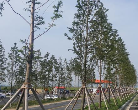Transplanted Trees Flourish