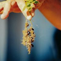 ¿Compiten las raíces de las plantas con nuestros polímeros hidroabsorbentes por la misma agua?