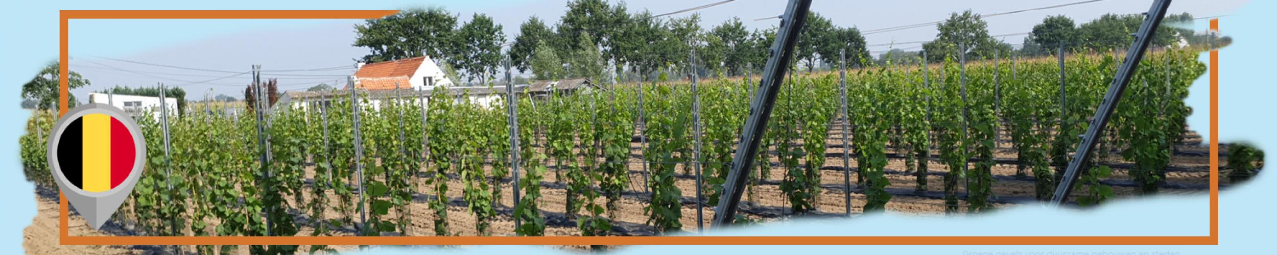 Aanplanting van wijnranken met TerraCottem Universal
